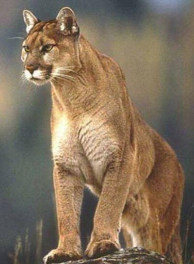 Rüyada puma yada pars cinsi vahşi hayvan görmenin yorumu nedir?