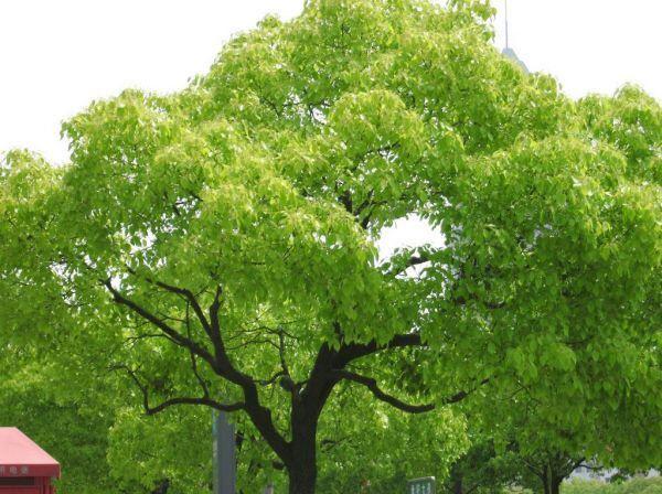 Kafur nedir? Kafur ağacı hakkında kısa bilgi